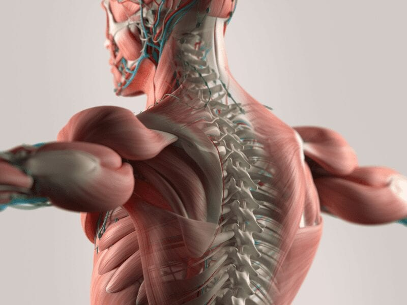 Här ser du nacken och bröstryggraden, med nerver, blodkärl och muskler.